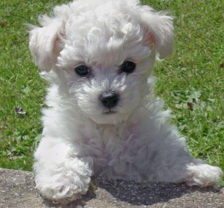 bichon-frise-puppies.jpg