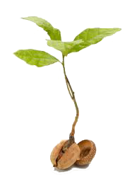 seedling-transparent.png