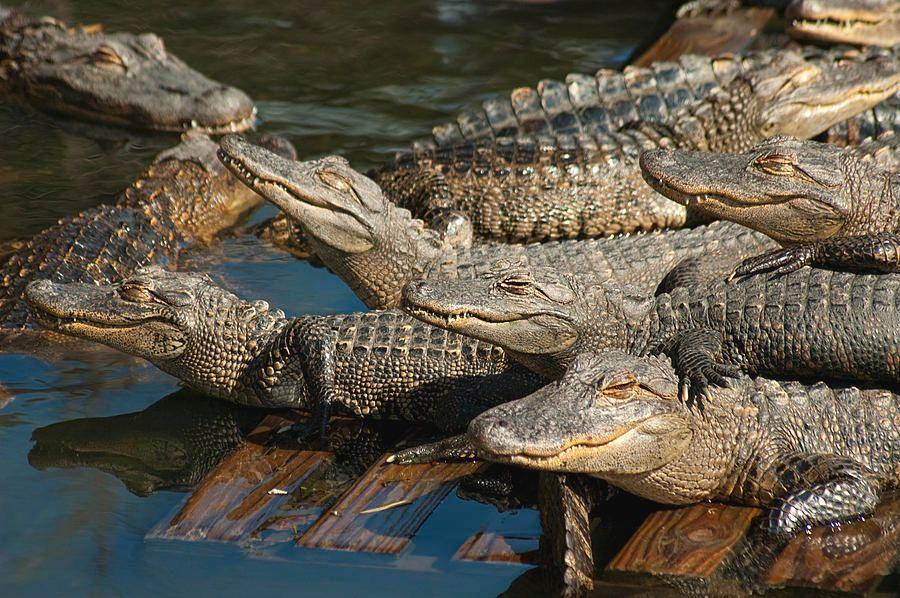 1-alligator-pool-party.jpg