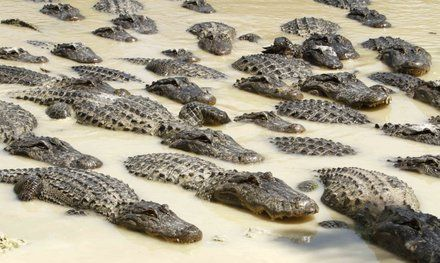 na_bw_American_Alligator_t440.jpg