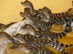 baby_gators.jpg